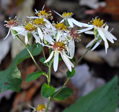 corymb: Eurybia divaricata, White Wood Aster, Woodland Aster, Common White Heart-leaved Aster