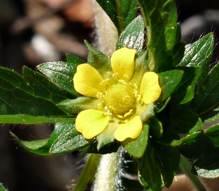 flower of Potentilla norvegica, Strawberry-weed, Rough Cinquefoil, Norwegian Cinquefoil