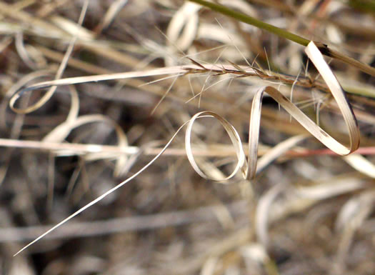 image of Aristida purpurascens, Arrowfeather, Arrowfeather Three-awn