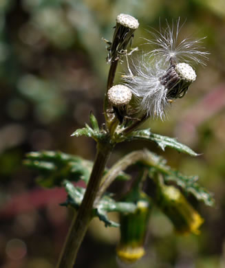 image of Senecio vulgaris, Common Groundsel