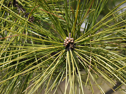 image of Pinus echinata, Shortleaf Pine, Yellow Pine, Rosemary Pine