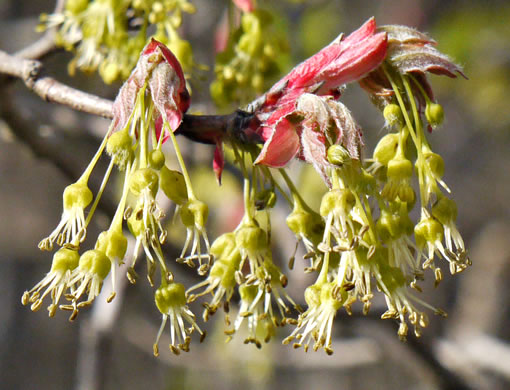 filiform: Acer leucoderme, Chalk Maple, Small Chalk Maple, White-bark Maple