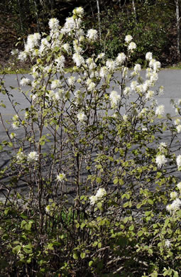 image of Fothergilla gardenii, Coastal Witch-alder, Dwarf Witch-alder, Small Witch-alder, Fothergilla