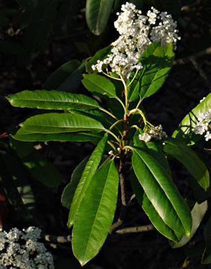 corymb: Photinia serratifolia, Photinia serratifolia, -