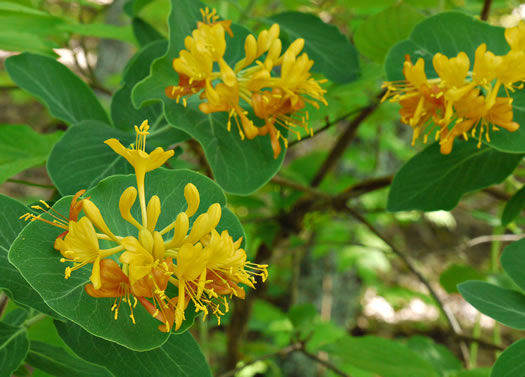 image of Lonicera flava, Yellow Honeysuckle