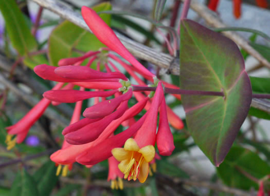 flower of Lonicera sempervirens, Coral Honeysuckle, Woodbine, Trumpet Honeysuckle