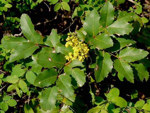 image of Berberis repens, Creeping Oregon Grape
