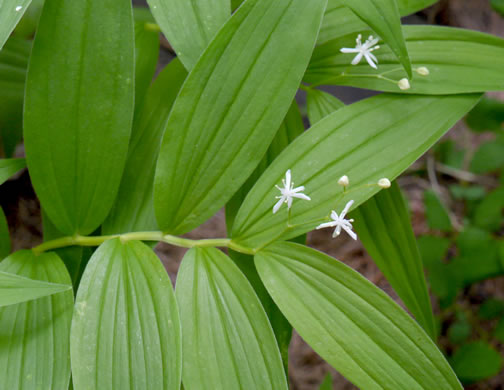 image of Maianthemum stellatum, Starry Solomon's Seal, Starry Solomon's Plume, Starflower