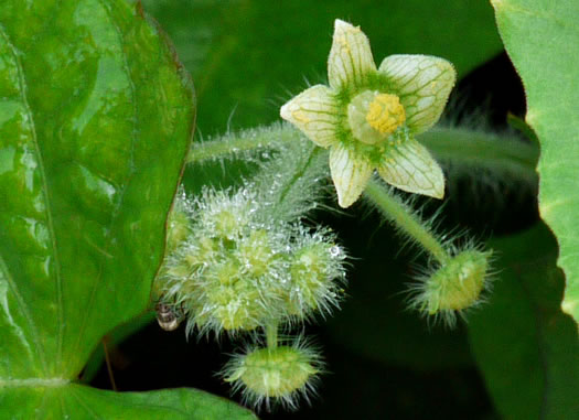 flower of Sicyos angulatus, Bur Cucumber, Star Cucumber, Nimble-Kate