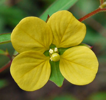 flower of Ludwigia alternifolia, Alternate-leaf Seedbox