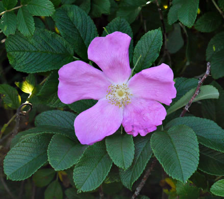flower of Rosa rugosa, Japanese Rose, Rugosa Rose, Beach Rose