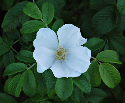 image of Rosa rugosa, Japanese Rose, Rugosa Rose, Beach Rose