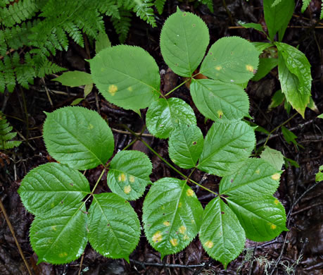 compound leaves of woodland herbs, with toothed margins: Aralia nudicaulis, Aralia nudicaulis, Aralia nudicaulis