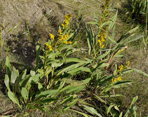 petiole: Solidago sempervirens, Northern Seaside Goldenrod