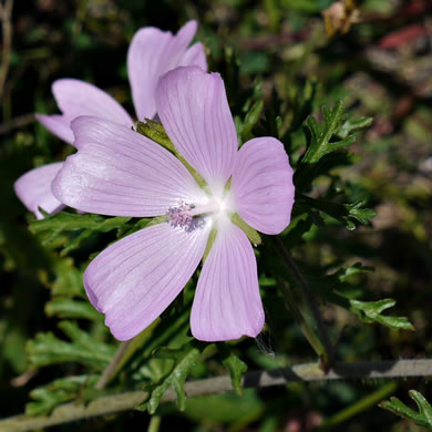 flower of Malva moschata, Marsh Mallow, Musk Mallow, Rose Mallow