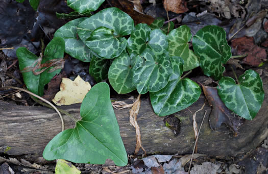 image of Hexastylis arifolia var. arifolia, Little Brown Jug, Arrowhead Heartleaf