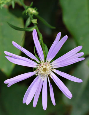 flower of Symphyotrichum retroflexum, Curtis's Aster, Rigid Whitetop Aster