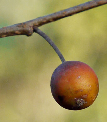 image of Celtis laevigata, Sugarberry, Southern Hackberry, Smooth Hackberry, Lowland Hackberry