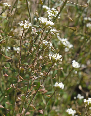 image of Capsella bursa-pastoris, Common Shepherd's Purse