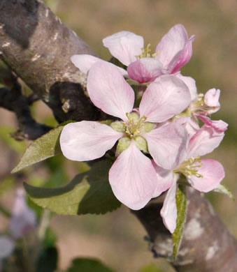 image of Malus pumila, Common Apple