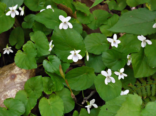 image of Viola blanda, Sweet White Violet