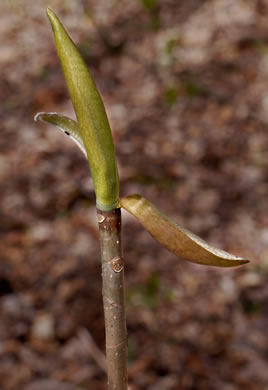 sepals or bracts of Magnolia tripetala, Umbrella Magnolia, Umbrella-tree