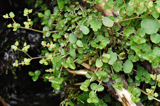 image of Chrysosplenium americanum, Golden-saxifrage, Water-carpet, Water-mat