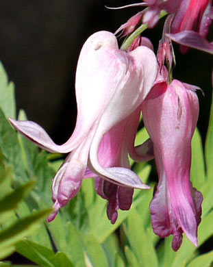 flower of Dicentra eximia, Wild Bleeding Heart
