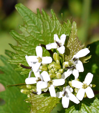 flower of Alliaria petiolata, Garlic Mustard, Hedge Garlic