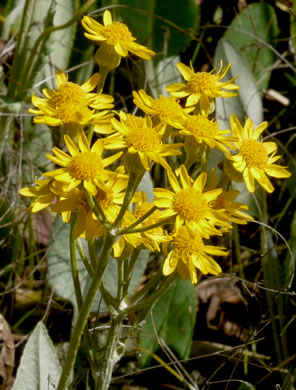 flower of Packera tomentosa, Woolly Ragwort
