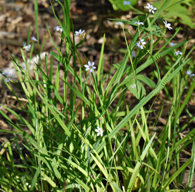 image of Sisyrinchium angustifolium, Blue-eyed Grass, Stout Blue-eyed Grass