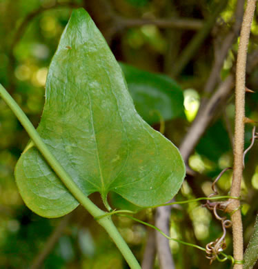 image of Smilax bona-nox, Catbrier, Saw Greenbrier, Bullbrier, Tramp's Trouble