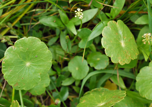 image of Hydrocotyle tribotrys, Whorled Marsh-pennywort, Water-pennywort