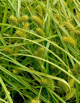 image of Carex lurida, shallow sedge