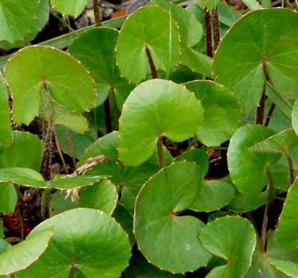 image of Centella asiatica, Centella, Coinleaf, False Pennywort