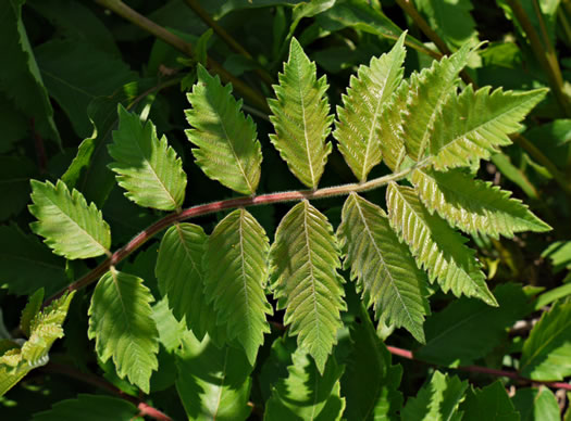 pinnately compound leaves of shrubs: Rhus michauxii, Rhus michauxii, Rhus michauxii