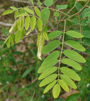 pinnately compound leaves of shrubs: Robinia hartwigii, Robinia viscosa var. hartwegii, Robinia hartwigii