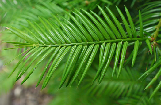 conifers (not including Pines): Torreya taxifolia, Torreya taxifolia, -