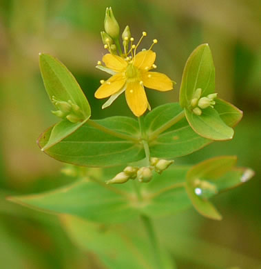 image of Hypericum mutilum var. mutilum, Common Dwarf St. Johnswort