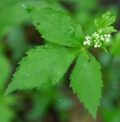 image of Cryptotaenia canadensis, Honewort