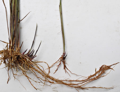 rhizome: Sorghastrum nutans, Yellow Indiangrass, Prairie Indiangrass