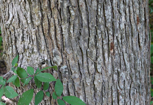 image of Ulmus alata, Winged Elm