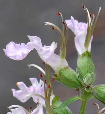 flower of Teucrium canadense +, American Germander, Wood Sage