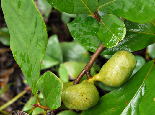 berry: Asimina parviflora, Small-flowered Pawpaw, Small-fruited Pawpaw, Dwarf Pawpaw