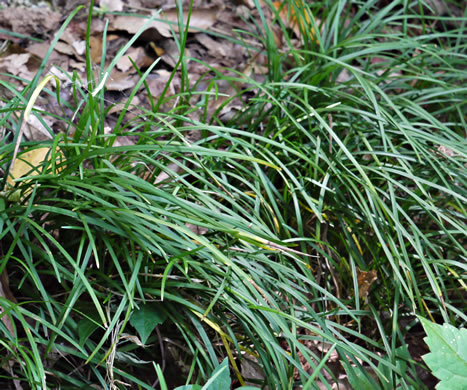 image of Ophiopogon japonicus, Mondo Grass, Black Mondo, Monkeygrass