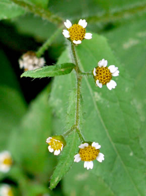 image of Galinsoga quadriradiata, Common Peruvian-daisy, Gallant Soldiers