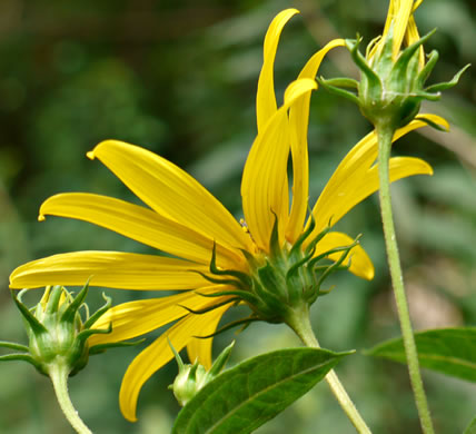 Helianthus decapetalus, Helianthus decapetalus, Helianthus decapetalus
