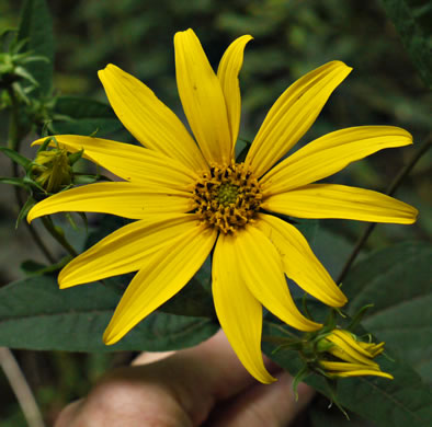 image of Helianthus decapetalus, Thinleaf Sunflower, Forest Sunflower