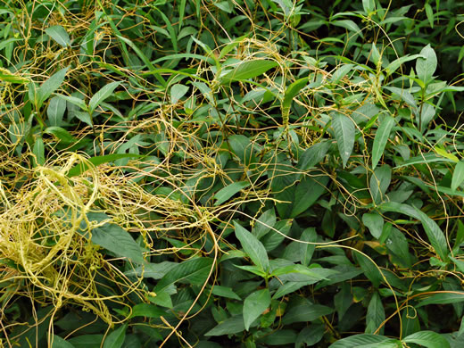 image of Cuscuta gronovii, Common Dodder