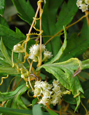 image of Cuscuta spp., Dodder, Love Vine